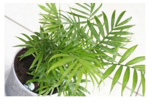 bamboo_palm _plant