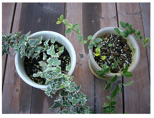 english_ivy_plant
