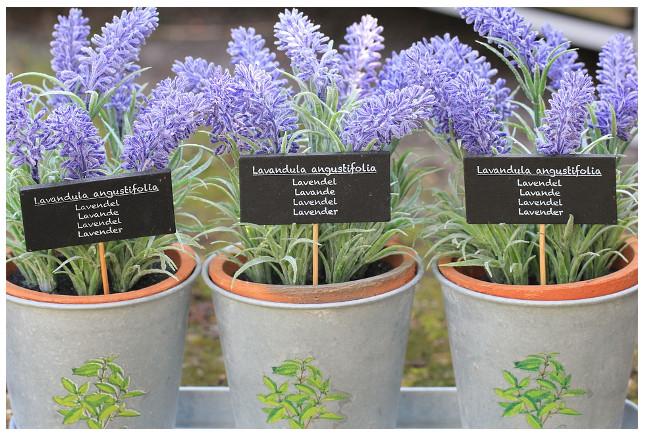 lavender_plant