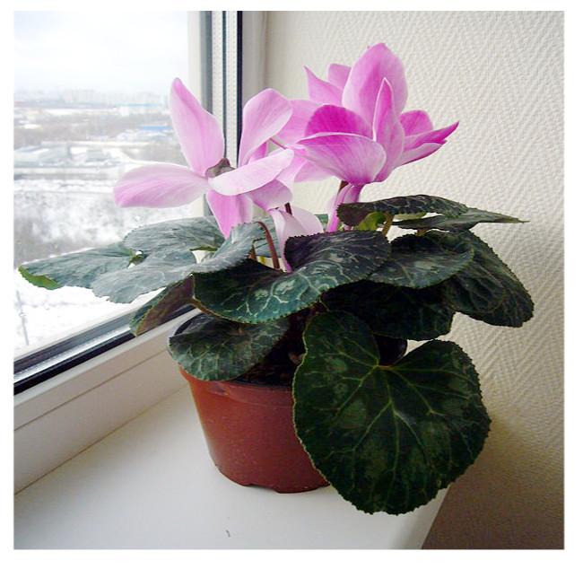 valerian_plant